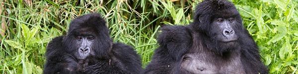 gorilla-safaris3