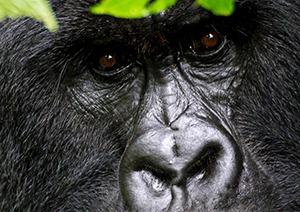 black-colombus-monkey